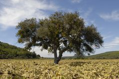 A tree in the sunflower field close view Stock Photo