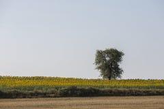 Tree in sunflower field near Tekirdag Stock Photos