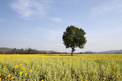 Tree and sunflower fields Royalty Free Stock Photo