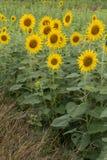 Tree of sunflower Royalty Free Stock Image