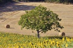 Tree among sunflowers Stock Photos