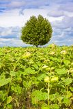 Tree in a sunflowers field Royalty Free Stock Image