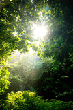 Tree and sunlight. Sun shining through the tree Royalty Free Stock Photography