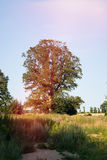 Tree in sunlight Stock Photography