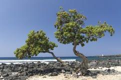 Tree on a sunny beach, Big Island, Hawaii Royalty Free Stock Photography