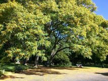 Tree in a sunny day. Tree blooming with some yellow leave in a sunny day of summer Stock Images