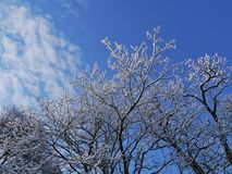 A tree at a sunny day in winter. Barren branches of a tree with white ripe opposite a blue sky with some white clouds in winter Royalty Free Stock Photography