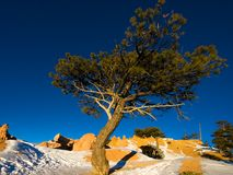 Tree at sunrise. A tree at sunrise in winter. Bryce Canyon National Park, Utah, USA stock photo