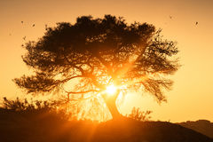 Tree at sunrise. Beautiful lone tree greets the sunrise surrounded by swallows Royalty Free Stock Photos