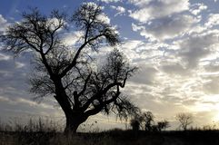 Tree at sunset. Silhouette of apple tree at sunset Stock Image