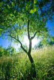 Tree at sunset royalty free stock image