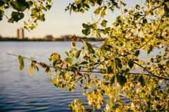 Tree in the Sunset. Lake Calhoun Minneapolis Early Fall Tree Stock Images
