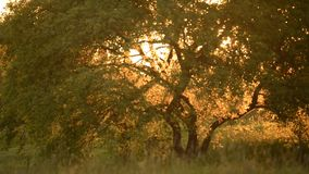 Tree at sunset in summer stock video footage