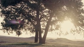 Tree at sunset in summer. Tree at sunset summer sways in the wind stock footage