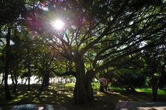 Tree with sunshine Royalty Free Stock Images