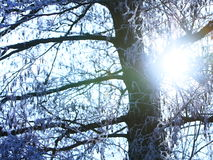 Tree sunshine snow sunray. Trees with snow in branches with sunray stock image