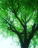 Tree. A tree with green light leaves on a black tree trunk Royalty Free Stock Photo