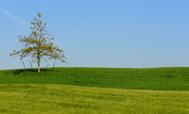 Tree Support. A tree along a golf course with support stakes royalty free stock photos