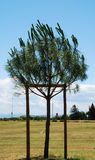 Tree Supported by Poles Royalty Free Stock Photo