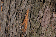 Tree surface. Background of the tree surface Stock Image