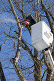 Tree surgeon. A man in a crane high up in a maple tree trimming branches with a power saw in winter Royalty Free Stock Image