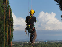 Tree surgeon lumberjack hanging from a big tree Stock Photography