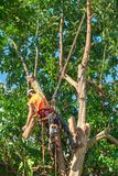 A tree surgeon up in an avocado tree. An arborist, suspended from a safety harness, tosses a length of branch cut from an overgrown avocado tree royalty free stock image