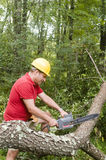 Tree surgeon using chain saw fallen tree. Arborist tree surgeon wearing protective hard hat helmett using chain saw to cut suburban backyard tree fallen from Royalty Free Stock Photo