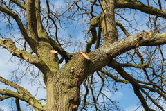 Tree surgery on a large oak. Royalty Free Stock Image