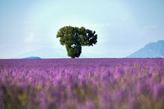 Tree surrounded by lavender. Lonely tree in the middle of a field full of flowers of lavender Stock Photos