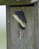 Tree Swallow Royalty Free Stock Photo