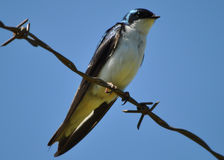 Tree Swallow. Perched on a barb wire royalty free stock image