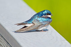 Tree Swallow. A tree swallow sitting on a railing Stock Photos