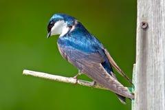 Tree Swallow. A tree swallow sitting on a nest box stock photo