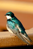 Tree Swallow Royalty Free Stock Image