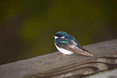 Tree Swallow. A puffy little tree swallow rests on a wooden bridge stock photo