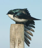 Tree Swallow. A Tree Swallow doing a wing stretch Stock Image