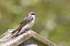 Tree Swallow_4760-1S. Immature Tree Swallow Perched on Birdhouse Stock Photos