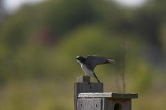 Tree Swallow. Stretching it wings Royalty Free Stock Photos
