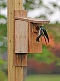 Tree swallow approaching nesting box Stock Photo