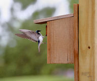 Tree swallow arriving at nesting box Stock Images