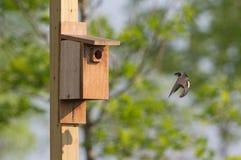 Tree swallow arriving at nesting box Royalty Free Stock Photos