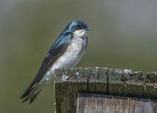 Tree Swallow Stock Image