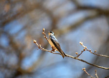 Tree Swallow bird Stock Image