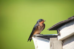 Tree swallow bird Royalty Free Stock Image