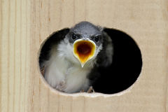 Tree Swallow In a Bird House Royalty Free Stock Photography