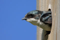 Tree Swallow In a Bird House Royalty Free Stock Image