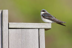 Tree Swallow on a bird house Stock Images