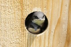 Tree Swallow In a Bird House Stock Photos