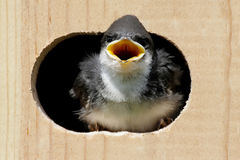 Tree Swallow In a Bird House Stock Image